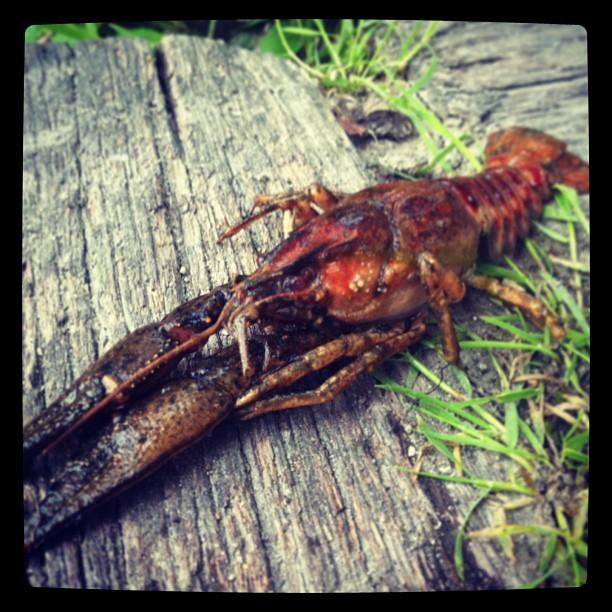 Ruhrpott Critters #crab#critter#lake#ewaldsee#herten#ruhrpott#ruhrgebiet#nature#...