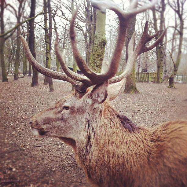 Close encounter with the angry deer...#deer#antlers#winter#wildlife...