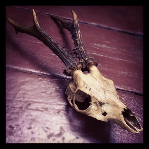 Collecting skulls...latest addition #skull#deer#deerskull#antlers#collection...