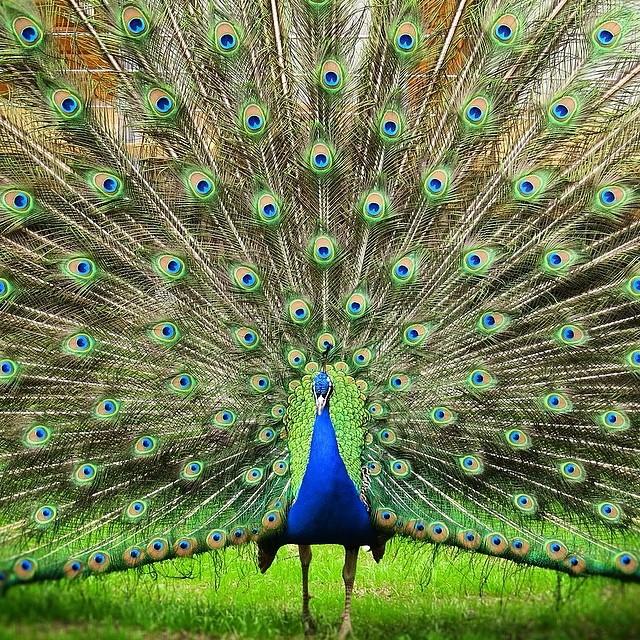 Day-Offs... #bird#birding #birdwatching #peacock#eyes#feathers#wings#oberhausen#...