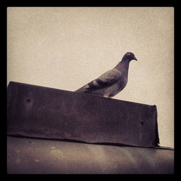 Early Morning visitor @ the kitchen window #bird#pigeon#sky#clouds#cloudy#ruhrpo...