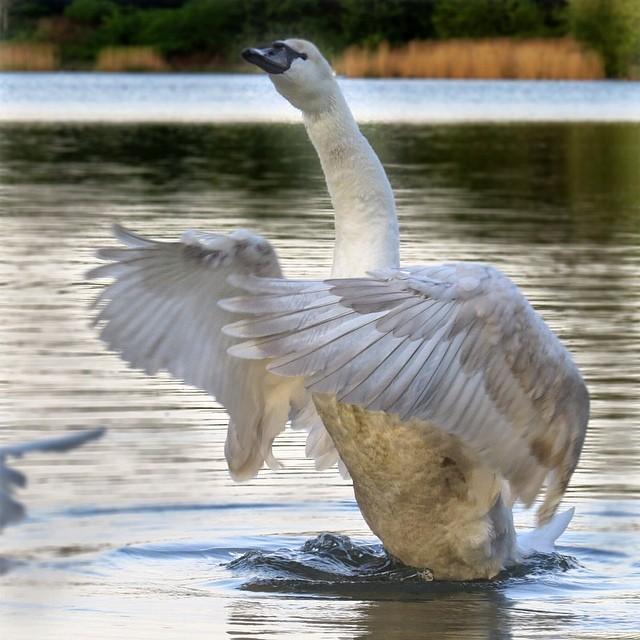 Evening walk through Beverly Buer #swan#wings#takeoff#risingswan#birding #birdwa...