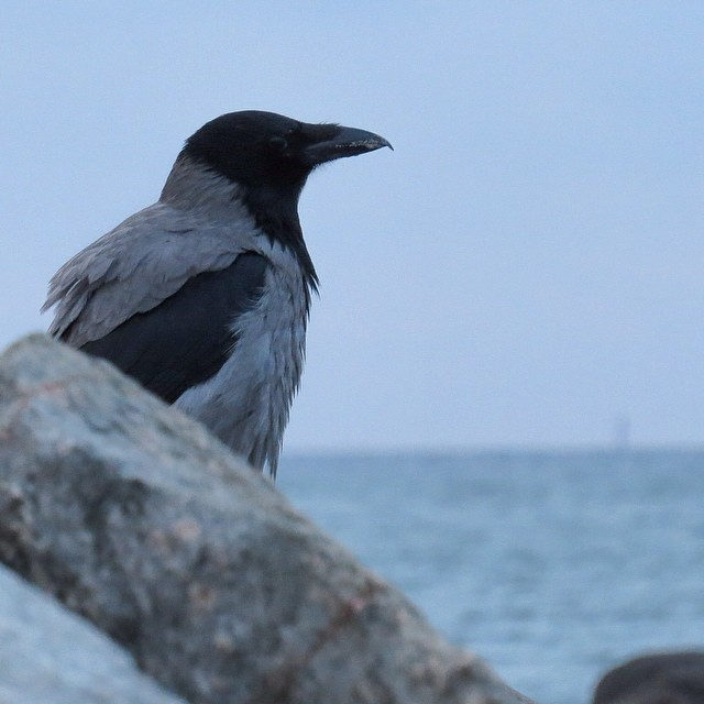 Heading over to Sweden today...may the crows lead me on the trails of the Viking...