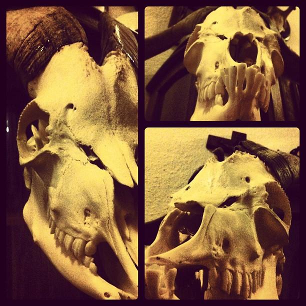 Oh my Goat! #goat#skull#goatskull#pygmygoat#antlers#horns#bone#nekrocephalie...