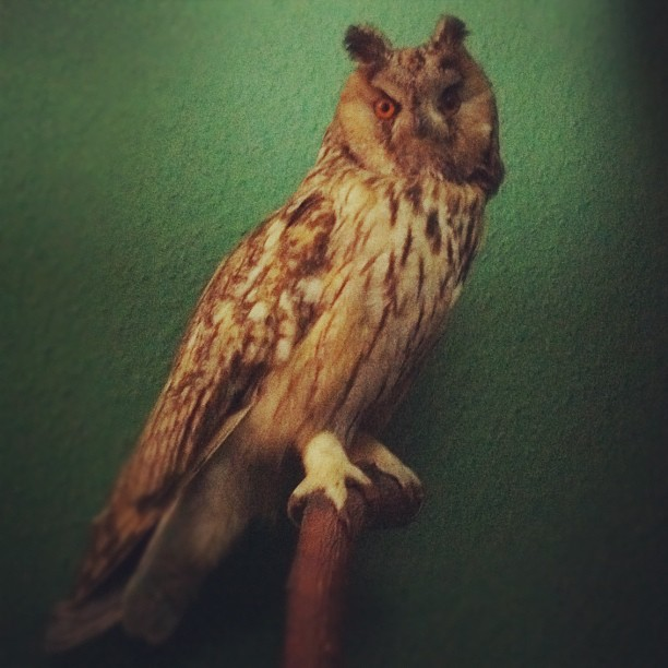 Our new Family member! Such a Beauty!  #owl#bird#taxidermy#birdofprey#asiootus#l...