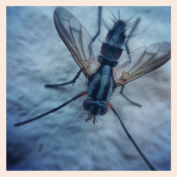 Return of the Fly #critter #udog_nature #olloclip #olloclipmacro #macro #macrosh...
