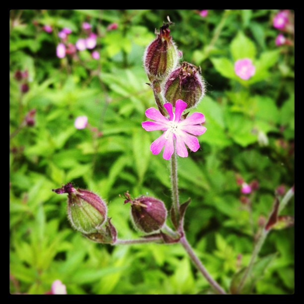 Ruhrpott. Home. #flower#wildflower#pink#blossom#leaf#green#nature#peace#beauty#m...