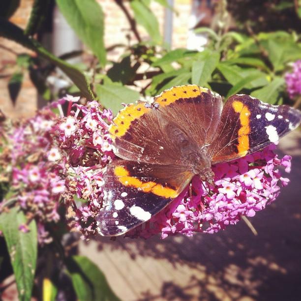 Summer is back #summer#garden#butterfly#wings#eye#eyes#grass#flowers#nature#macr...