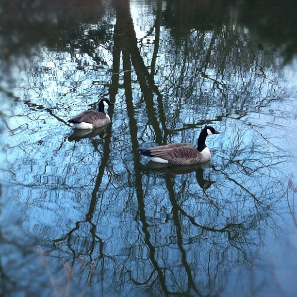The Goose are loose! #canadagoose#goose#lake#park #tree...