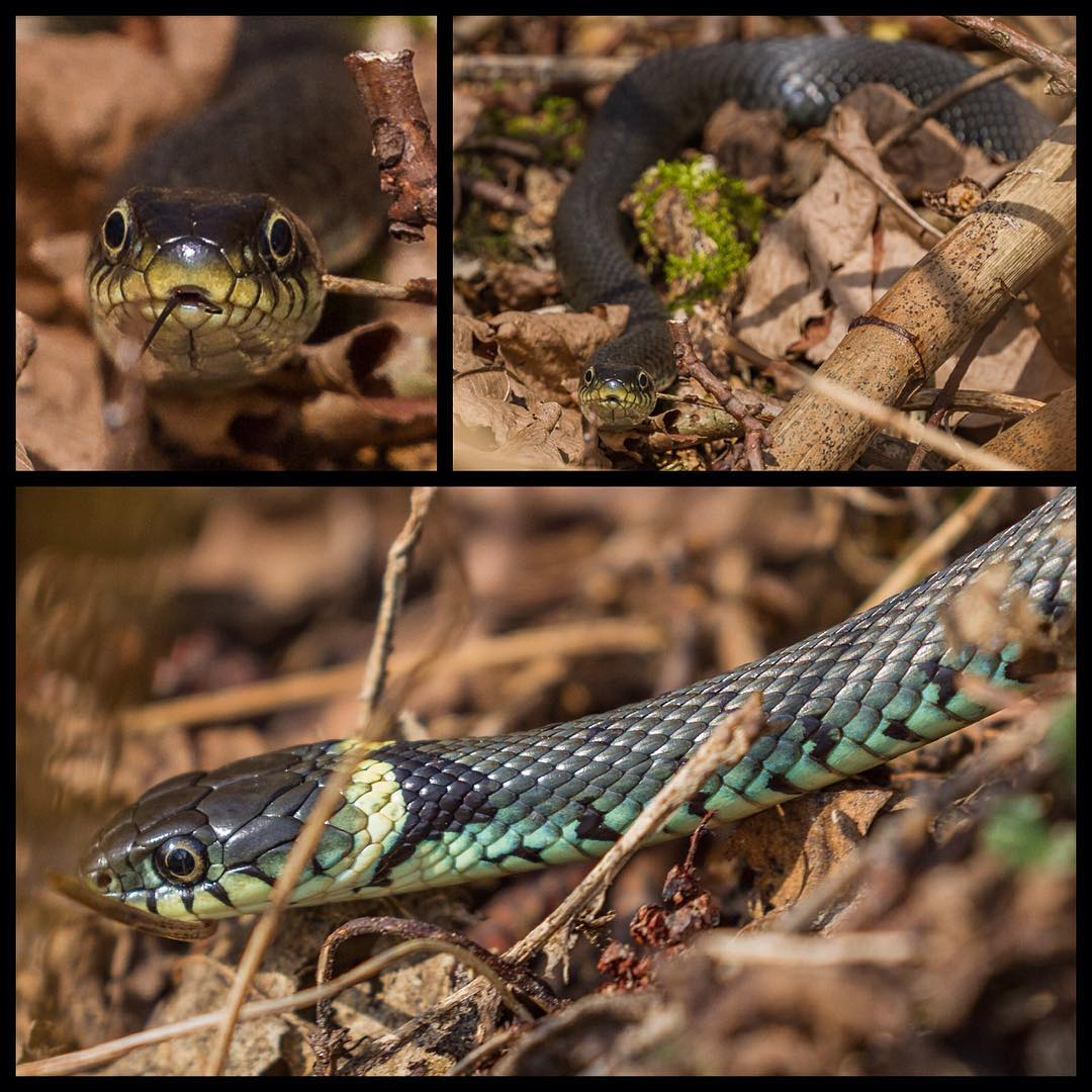 Went out for a walk in the woods today and met this sunbathing beauty  #spring#s...