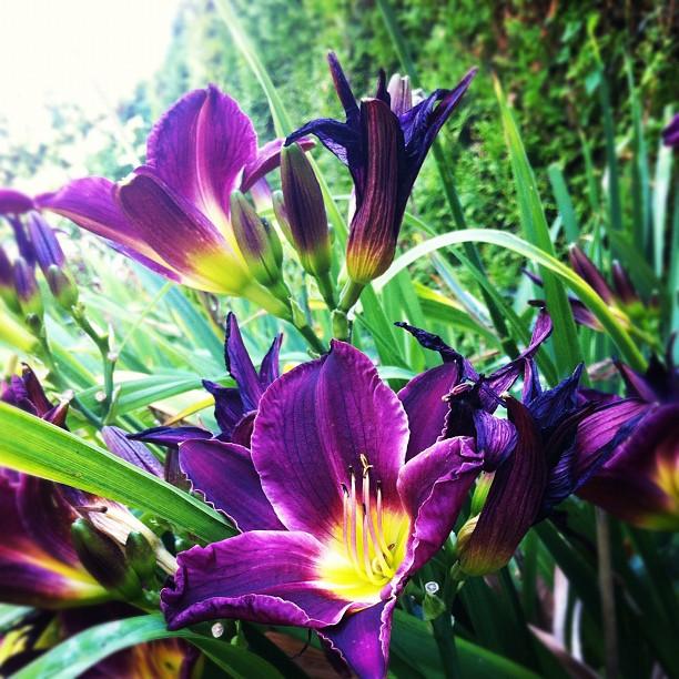 #flowers#garden#lillys#lillyflower#purple#colours#beauty#nature#summer...